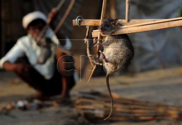 A rat hunter removes rats from traps in Bori village, in the Nalbari district of Assam state, about 120 kms from Guwahati city, northeastern India, 14 March 2010. Every year, a large portion of the crops is destroyed by rats in Assam state and in the other northeastern Indian states. The number of people affected by an ever-growing rat population has increased in recent times. The rats sometimes weigh more than a kilogram and they eat everything that is fresh and green. Rat hunters who usually belong to 'Ad