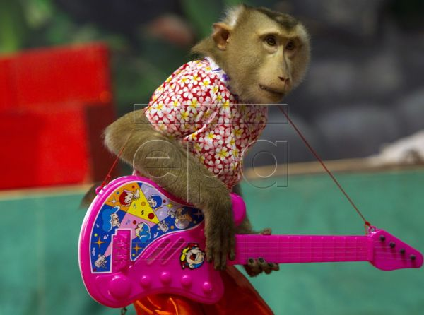 A monkey plays with a toy guitar during a show by the monkey drama troupe 'Prakit Sitpragaan' in Bangkok, Thailand 28 August 2010. 'Prakit Sitpragaan' have been performing in Thailand for over 30 years. The director of the troupe, Panya Ganrobroo, inherited the position from his uncle. In the past, monkey theatre was performed at local fairs or held at temples during religious ceremonies. Although its existence is disappearing from Thai society, the monkey entertainers are now recognized as an asset of hist