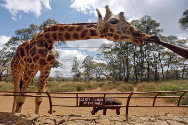 A Rothschild giraffe is fed by a visitor at the Giraffe Centre in Langata, some 5km outside of capital Nairobi, Kenya, 15 September 2010. The Giraffe Centre, formally named The African Fund for Endangered Wildlife Kenya, was originally founded by American conservationist Betty Leslie-Melville and her husband Jock in 1979 in a bid to protect Rothschild giraffes, one of the most endangered giraffe subspecies. The Centre currently is home for 9 Rothschild giraffes including 2 infants in the 100 over acres of d