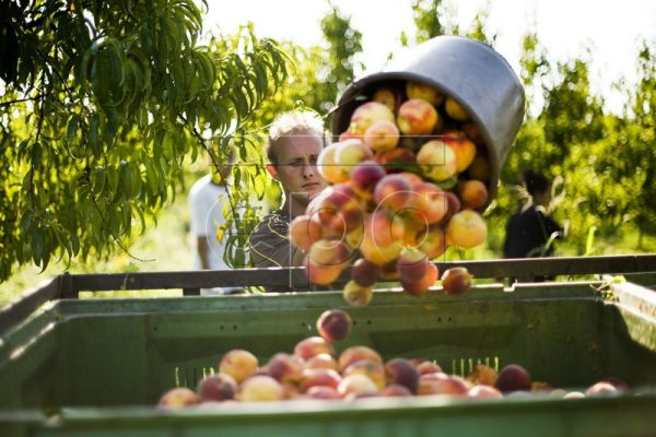 A bucket of peaches is emptied into a container by a day-worker in a peach orchard at a 150 hectare fruit-farm in Tiszadob, some ​200 km east of Budapest, Hungary, 22 August, 2011. In season, some 15 to 20 seasonal day-workers are brought here from Tiszavasvari, 18 km to the sout​h, for various seasonal agricultural work. EPA/ATTILA BALAZS