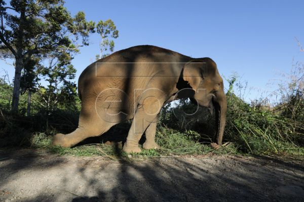 Ida, a 60-year-old domesticated elephant fatally injured in the leg during a fight with a wild elephant while she was used in a program to push back the wild elephants from plantations and settlements, in Negeri Antara, Aceh, Indonesia, 12 February 2019. She has since died from her injuries. Across Aceh province on the Indonesian island of Sumatra, new plantations and a housing construction boom are threatening the natural environment, pitting humans against the already-critically endangered wild elephants